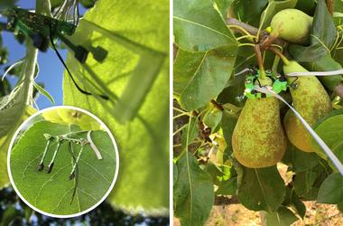 Microklimaatsensor op fruit (vergrote weergave)