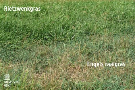 Rietzwenkgras: kan beter tegen droogte dan Engels raaigras