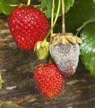 csm_Botryotinia_fuckeliana_strawberry_a3b07af149.jpg