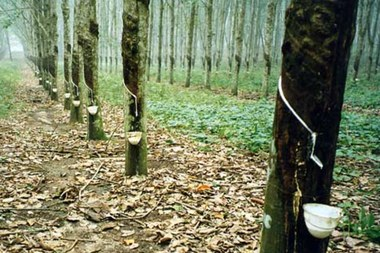 rubberbomen 1444x963.jpg (vergrote weergave)