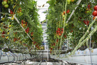 tomaten 1444x963.jpg