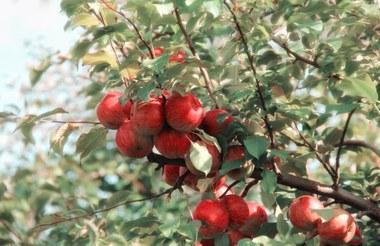 Fruit in openbaar groen (vergrote weergave)