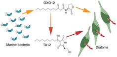 N‑Acyl Homoserine Lactone (AHL) mediated quorum sensing