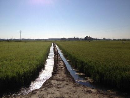 experimental rice field Italy