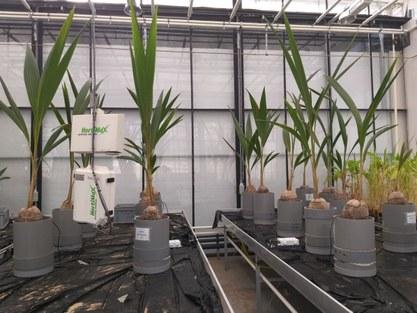 Project Scynthya greenhouse coconut