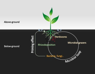 """Micro- and mesofauna - microflora - plant interactions: extending the soil """"microbial loop concept"""" of nutrient cycling and plant growth"""