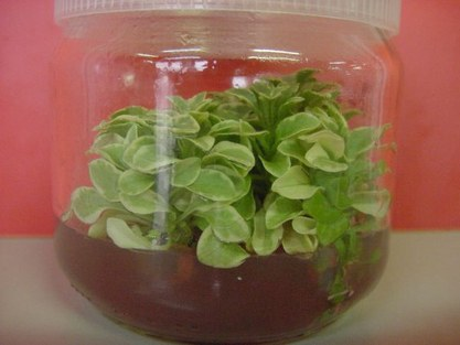 Difficult to micropropagate Petunia Chimera