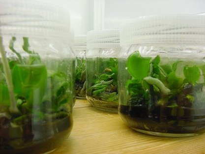 Phalaenopsis in vitro