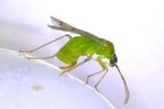 Predatory bug Nesidiocoris tenius