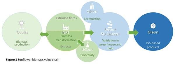 Sunflower biomass value chain