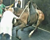 Inductie van de anesthesie bij een paard met behulp van een singel