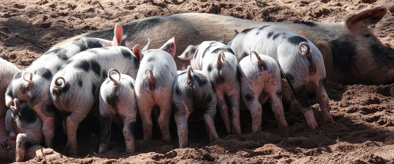 Piglets 1