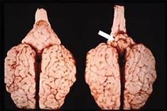 Symptomen BVD 4 (Foto: J. Laureyns)