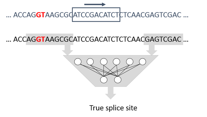 Automatic genome annotation, such as predicting the location of splice sites, translation initiation sites, or secondary structures. By detecting indicative patterns in an exemplary set of DNA sequences, machine learning models can make predictions for new DNA sequences.