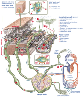 diagram_lymphatic-system.png