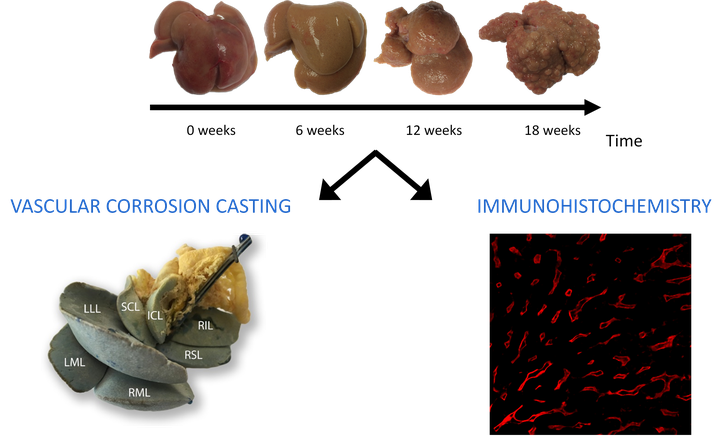 vascular_corrosion_casting.png