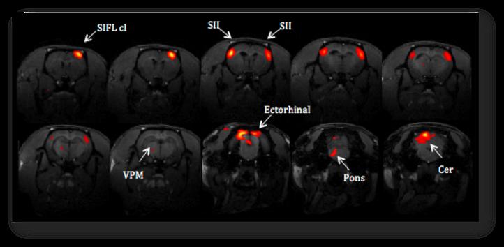 Figure 1 : Visualization of the rat somatosensory network.
