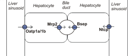 Figure 1: Overview of the most important bile acid transporters. Organic Anion Transport Protein 1a/1b (Oatp1a/1b), Sodium Taurocholate Cotransporting Protein (NTCP) are the most important uptake transporters. Multidrug Resistance Protein 2 (Mrp2) and Bile Salt Export Pump (Bsep) are the most important efflux transporters