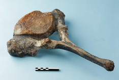 Mammoetbeen (foto Hans Denis, © Agentschap Onroerend Erfgoed)