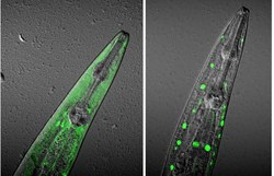 Ageing with Elegans