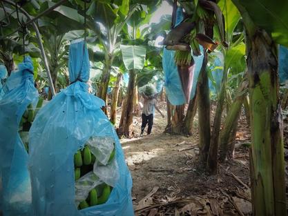 Banana Plantation, Philippines ©Robin Thiers