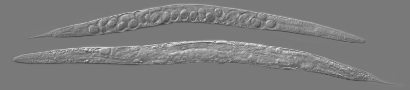 Young and old C. elegans adults. Above: first day of adulthood.  Below: after two weeks of adulthood.