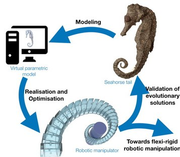 """Project scheme of project """"Seahorse-inspired swiss army knife: versatile robot manipulators that also solve evolutionary problems"""""""