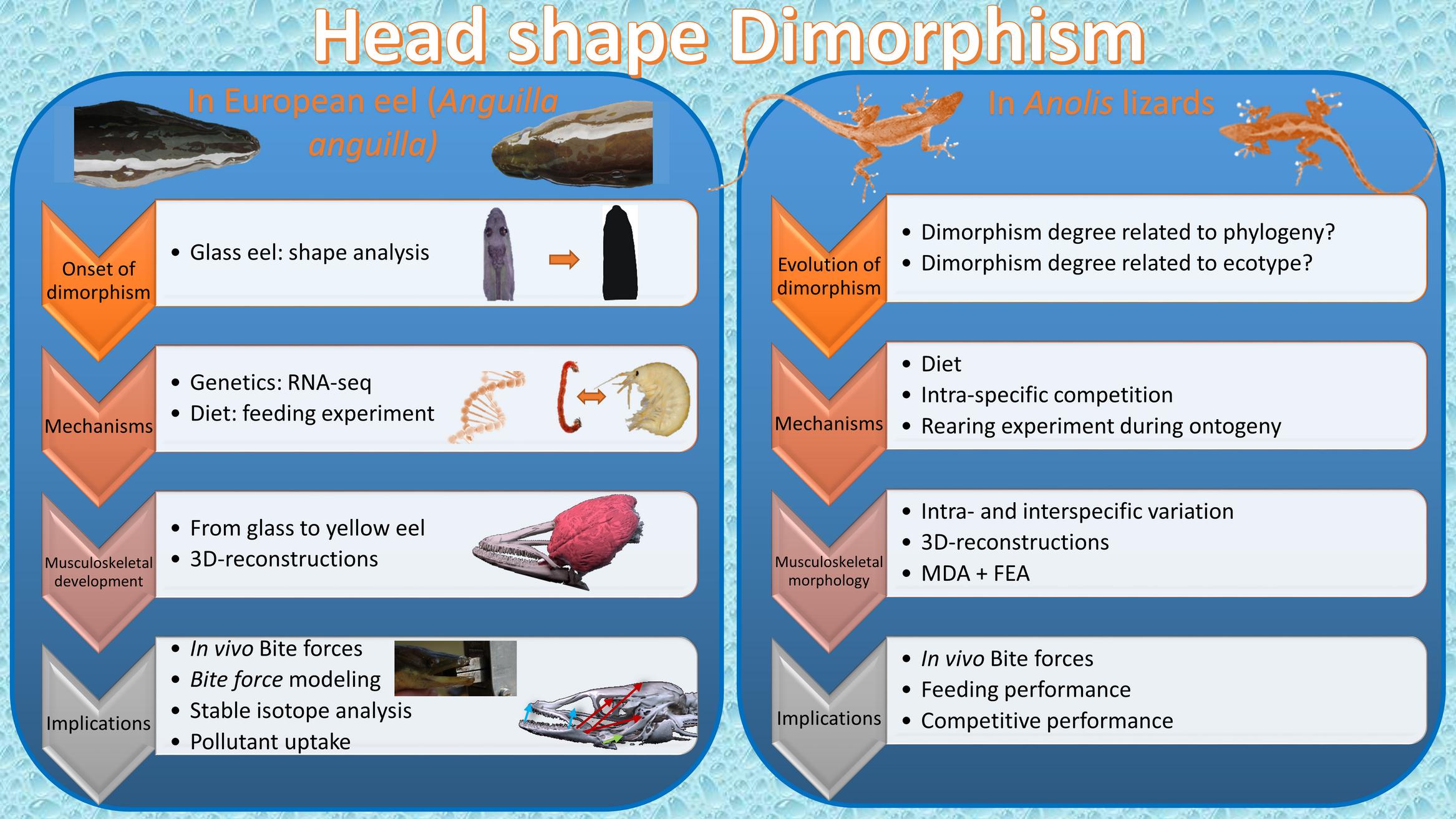 Head shape dimorphism