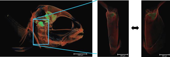 Bone mineralization in seabream