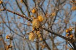 Winterzicht op Chimonanthus
