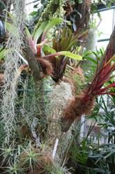 Epiphytenboom