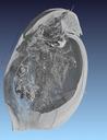Internal organs of a water flea