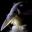 A darwin finch (Courtesy: evomorph)