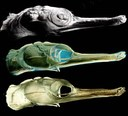 Seahorse (courtesy: evomorph)